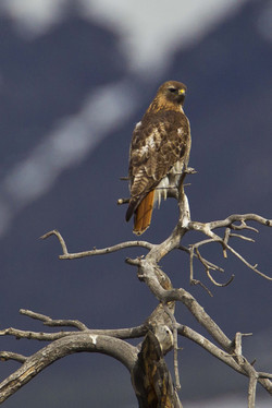 Red-tailed-hawk-courtesy-Ann-Schonlau-Rocky-Mountain-National-Park-smaller-res_1