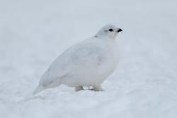 White-tailed_Ptarmigan_(Lagopus_leucura)_(19728015794)