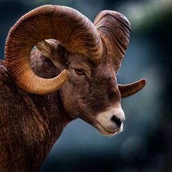 Big_Horn_Sheep,_Montana,_USA