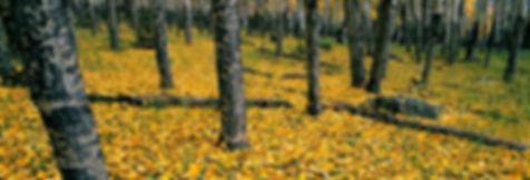 golden leaves in horseshoe park during fall