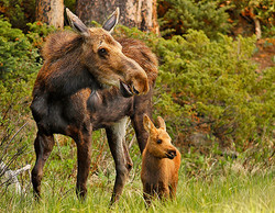 Moose-and-baby