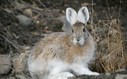 Snowshoe_hare_transitional_coloring