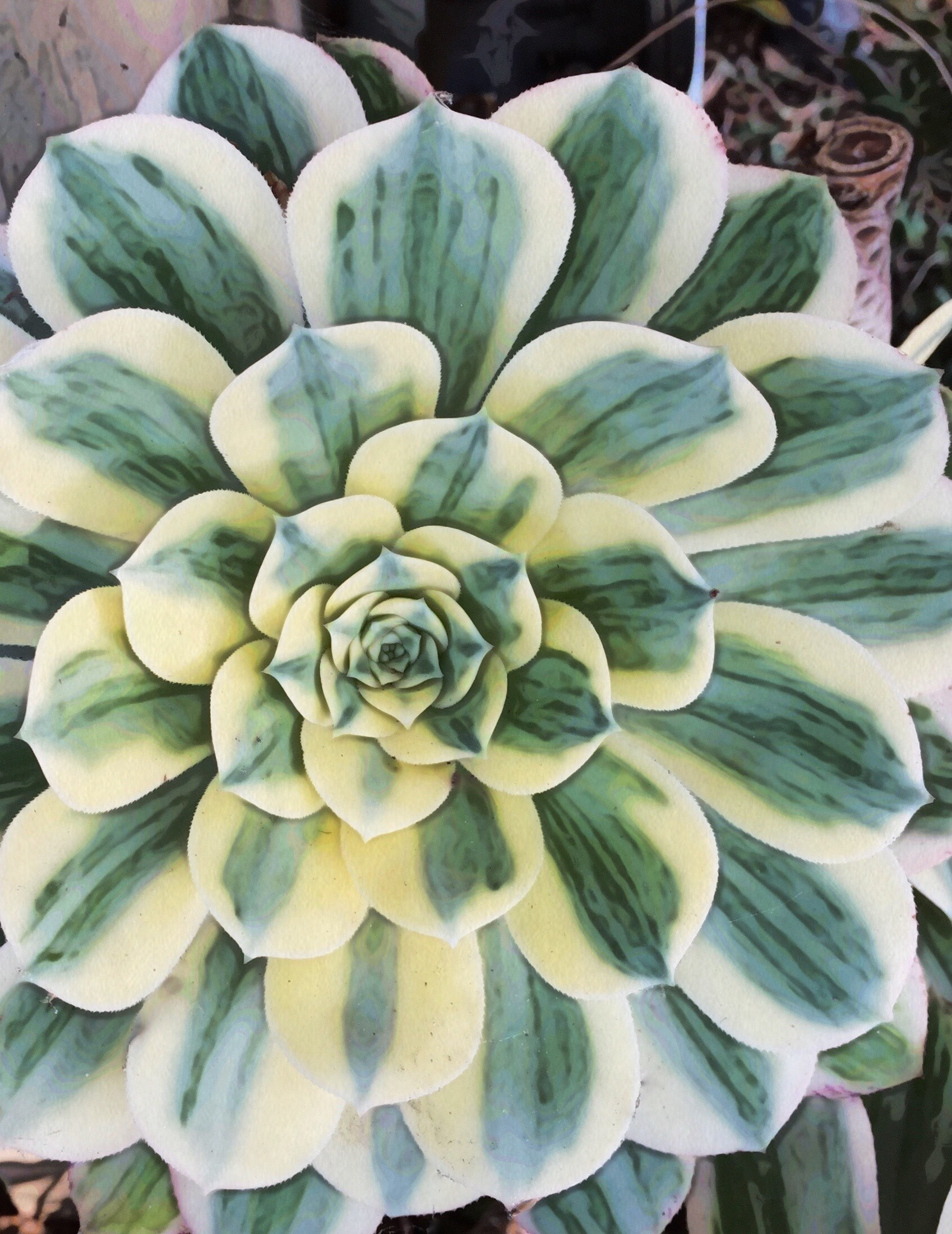 Striped Echeveria