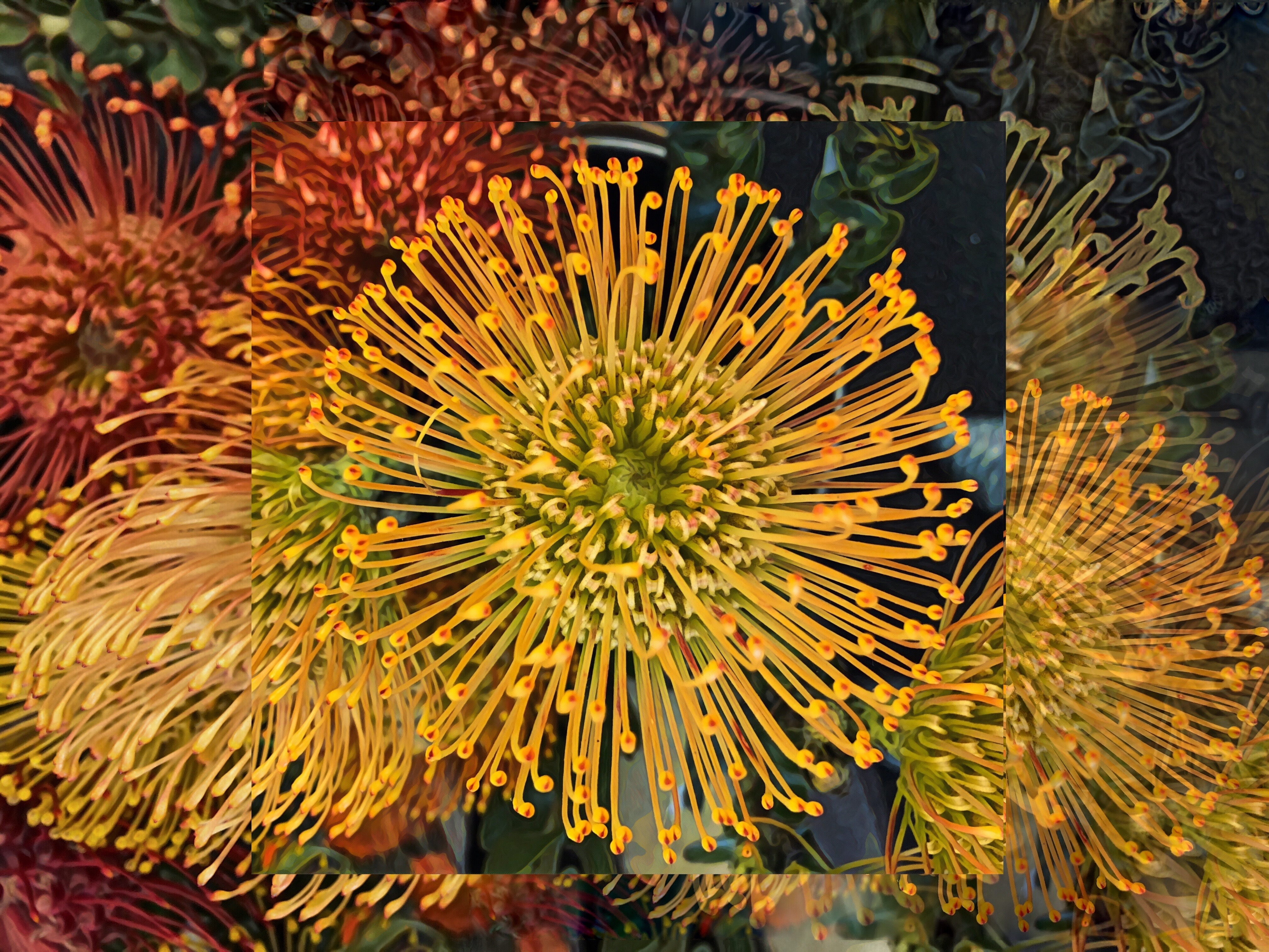 Protea Fireworks