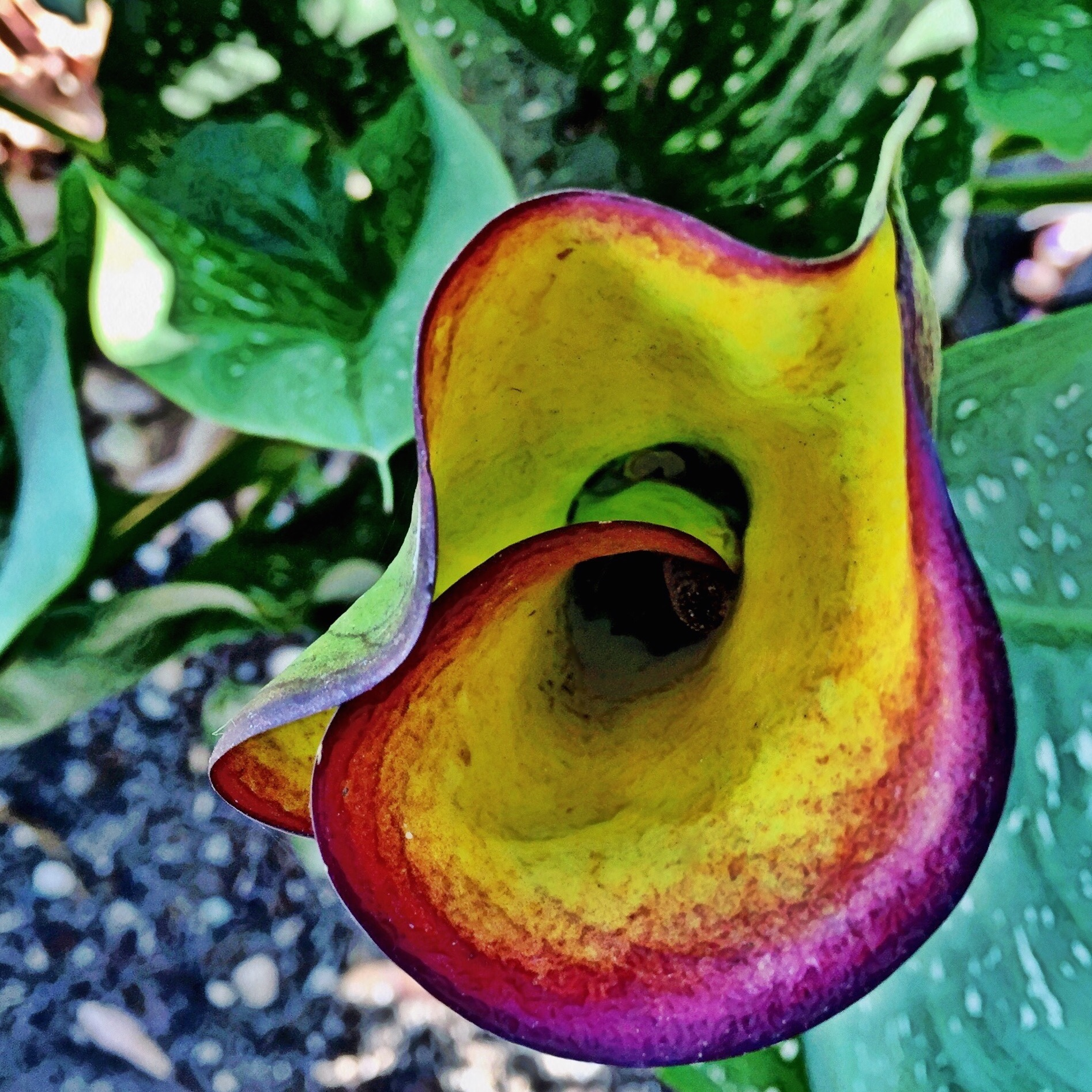 Purple Calla