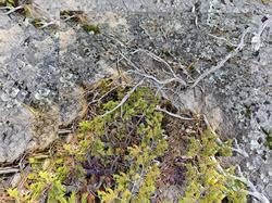 Old Juniper and Granite