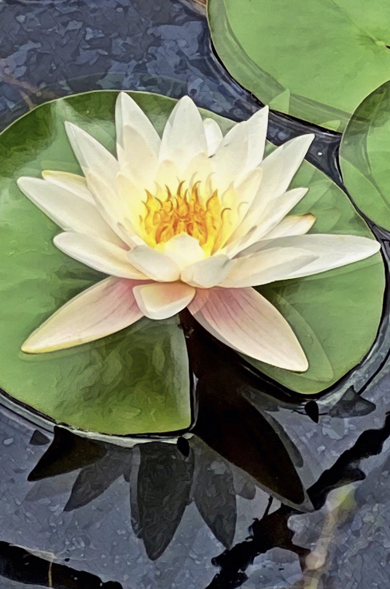 Water Lily Lily