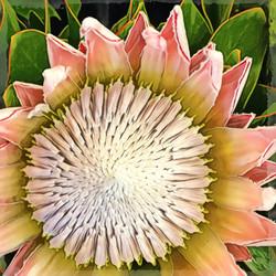 Protea #2