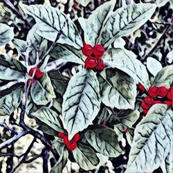 Christmas Berries #1