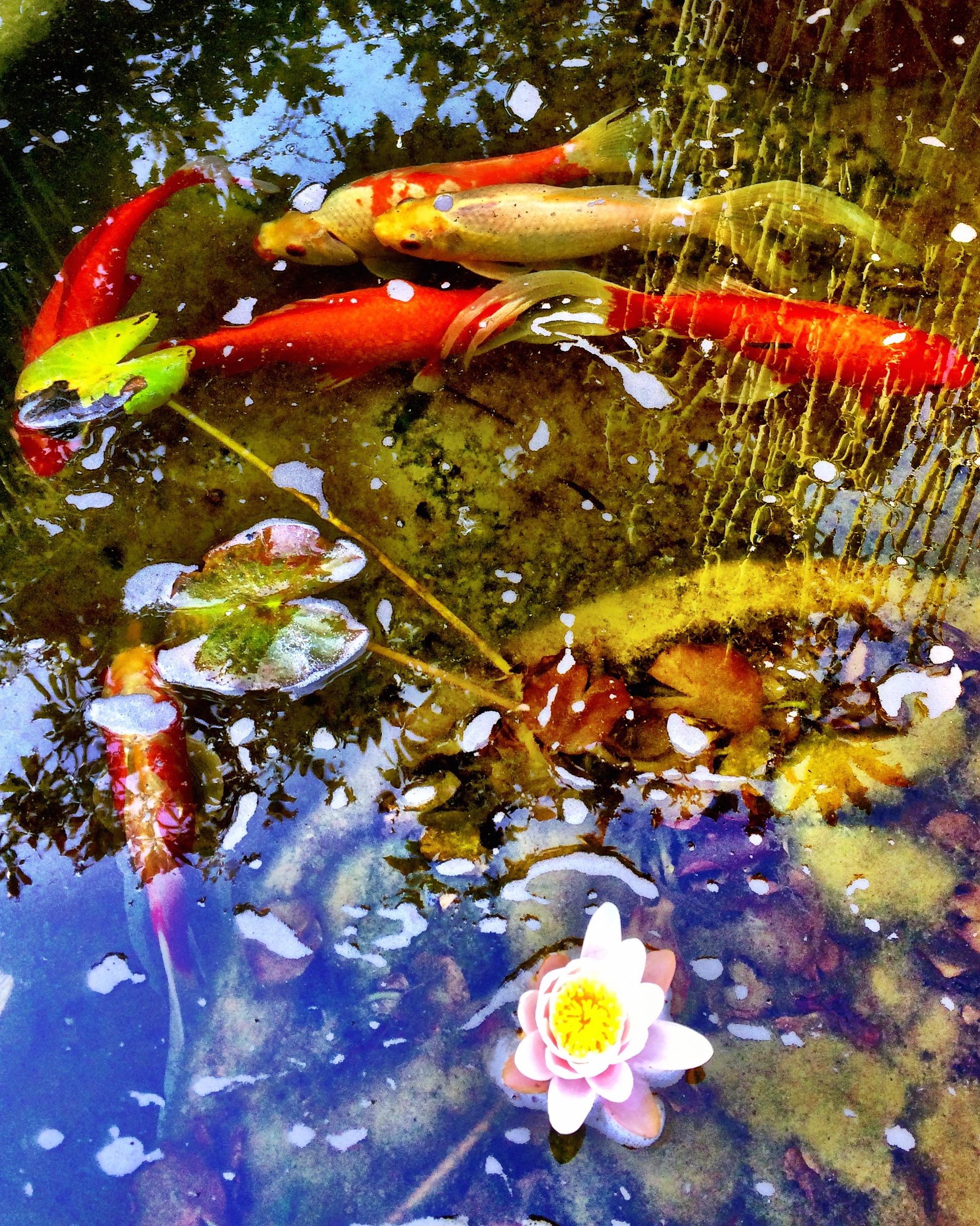 Koi/Lily Pond