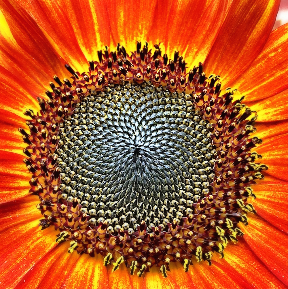 Blazing Sunflower