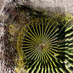 El Conquistador Barrel Cactus