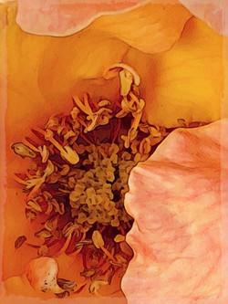 Yellow Rose of Berkeley