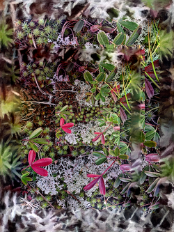 Red Leaves and Reindeer  Moss