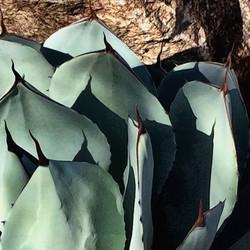 Tucson Agave