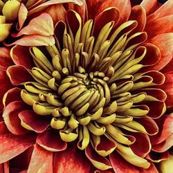 Fall Chrysanthemum
