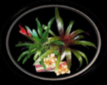 Plants, Chocolates, Bromelias. Bundaberg Flowers,