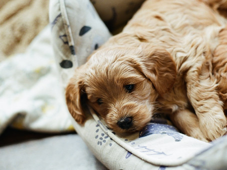 Should You Leave Your Puppy to Cry?