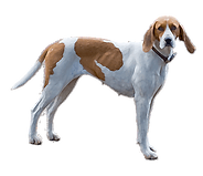 english-foxhound.png