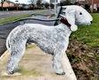 Bedlington Terrier Public Seat