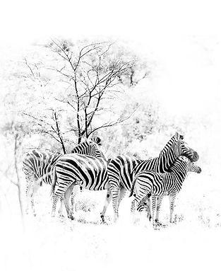 Zebra familyxb.jpg