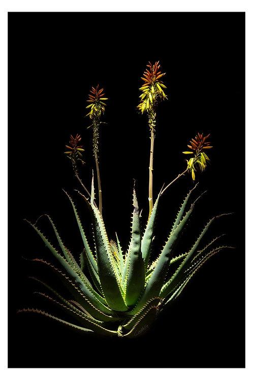 Caddelle Aloe CA006
