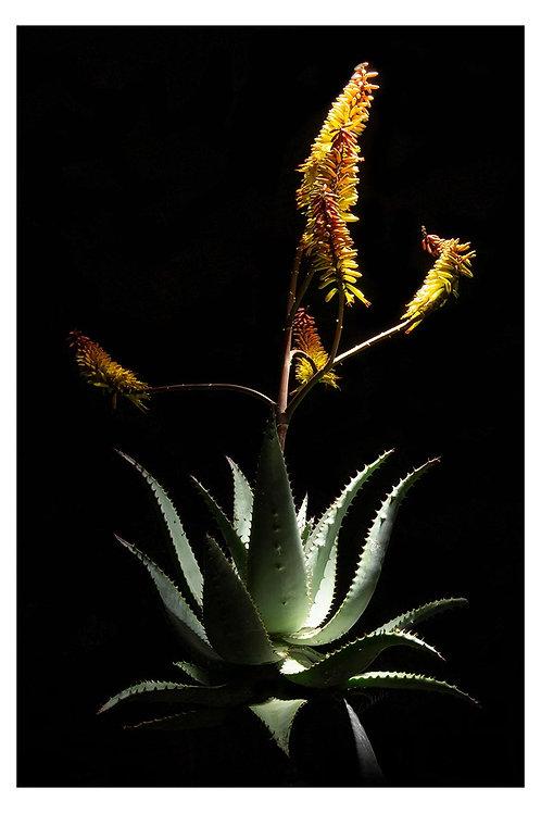 Caddelle Aloe CA005
