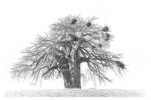 Caddelle Baobab BAB002