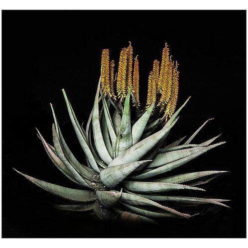 Caddelle Aloe CA001