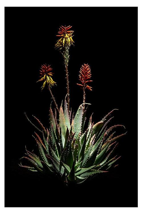 Caddelle Aloe CA004