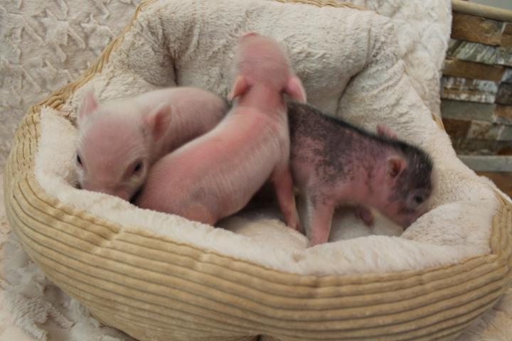 Micro piglets