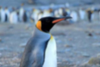 King Penguin.jpg