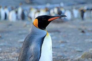 King Penguin.jpg