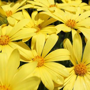 Yellow Osteos