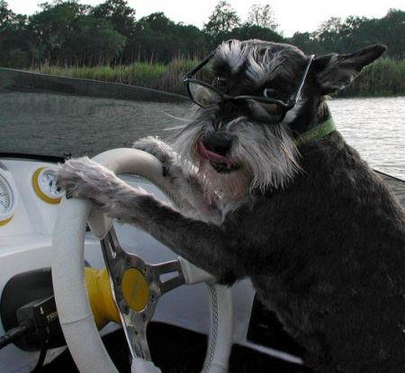 Dog driving a boat