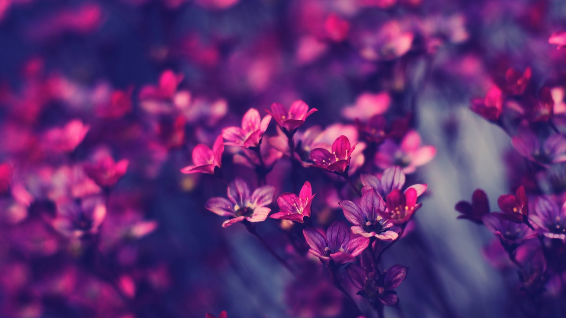 violet-flower-images-and-wallpapers-12