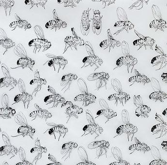 Leonie_Nowotsch_drosophila melanogaster