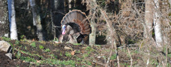 Turkey Hunt Maine