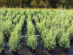 Southern Red Cedar 'Robin Blue', Juniperus silicicola