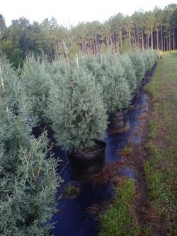 Arizona Cypress 'Carolina Sapphire', Cupressus arizonica glabra