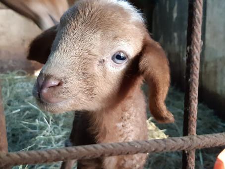 2 nuovi agnellini in Fattoria