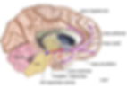 440px-Mesolimbic_mesocortical_pathway.pn