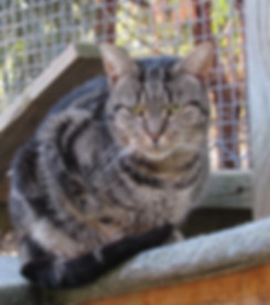 Tabby cat in outdoor cattery