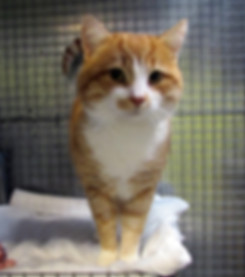 Ginger and white tabby cat