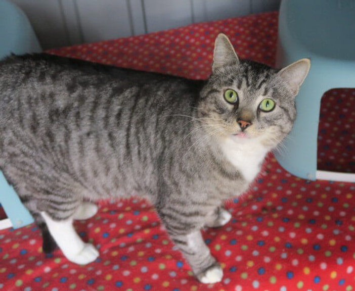 Tabby cat with white chin and chest