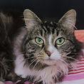 semi longhair tabby cat