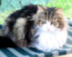 fluffy tabby and white cat