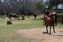 Hart Horses