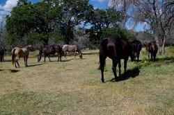 Hart Horses Grazing