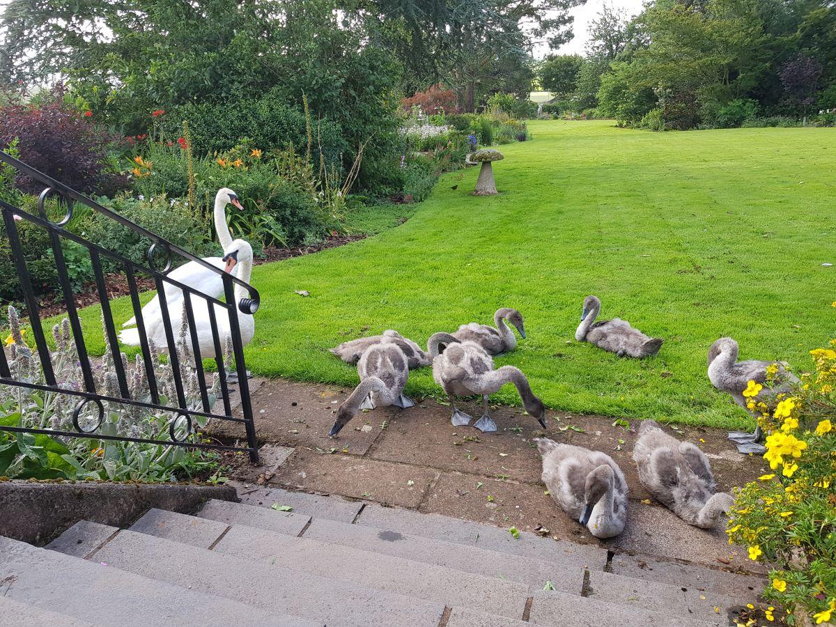 Swans & cygnets visit